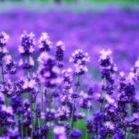 好看的薰衣草QQ意境头像:薰衣草是紫色的唯美