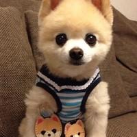 哈多利系博美犬之俊介QQ可爱头像图片