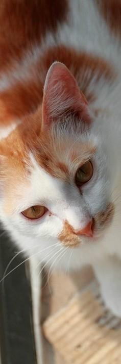 宠物猫qq皮肤图片 家养的可爱宠物猫咪