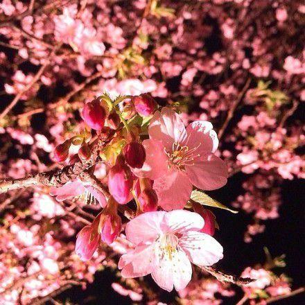 樱花365体育投注平板,唯美的日本樱花365体育投注平板大全