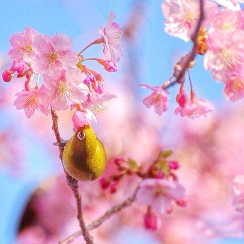 樱花图片,唯美的日本樱花图片大全