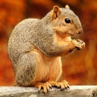小松鼠QQ头像图片