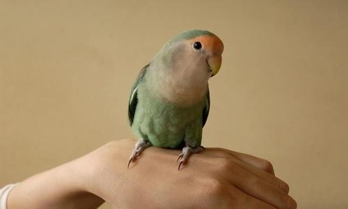 可爱鹦鹉图片大全大图