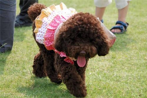 图片 唯美图片  国外有个主银载著他家的巨型泰迪犬去兜风,泰迪戴著