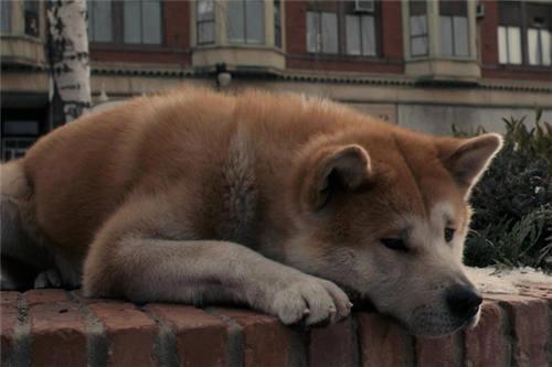 日本憨厚可爱的秋田犬图片大全 道理我都懂但是我不跟