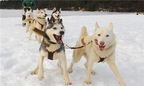 雪橇犬哈士奇�D片大全