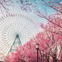 关于樱花的qq头像