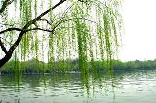 描写春天柳树的诗句图片