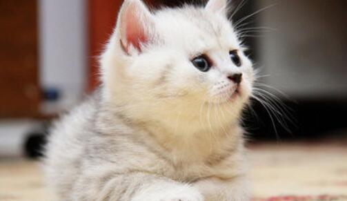 可爱的小猫的作文400字
