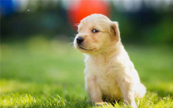 金毛小狗图片大全可爱
