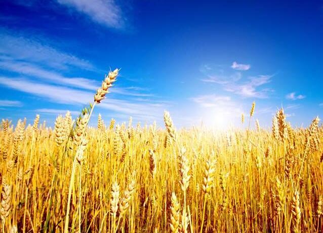 唯美的金色的麦田图片